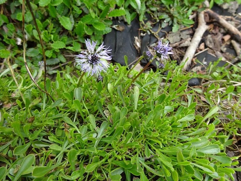 Глобулярія серцеподібнолиста (Globularia cordifolia L.)  - 3