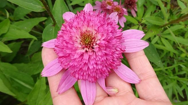 "Ехінацея пурпурова ""Раззматазз"" (Echinacea purpurea ""Razzmatazz"") - 8"