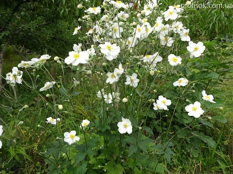"Анемона японська ""Андреа Аткінсон"" (Anemone japonica ""Andrea Atkinson"") - 3"
