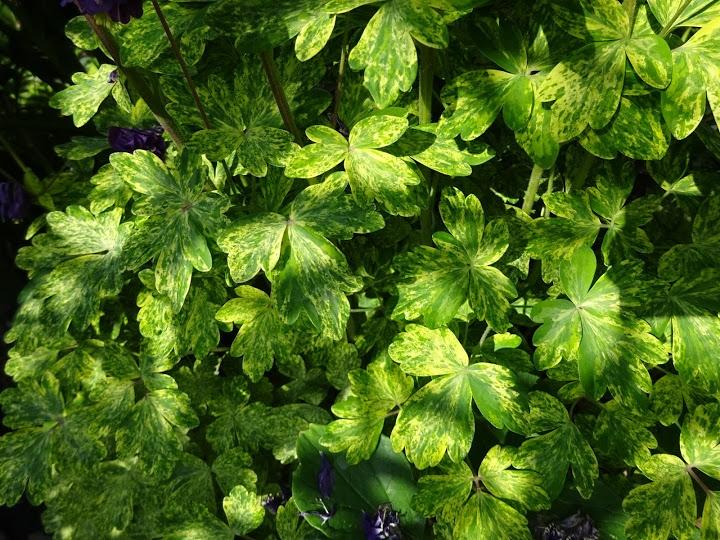 "Орлики звичайні ""Лепрекон Голд"" (Aquilegia vulgaris ""Leprechaun Gold"") - 3"