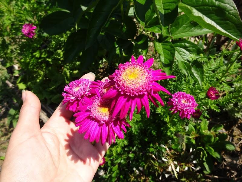 """Маруна рожева гібрид """"Ванесса"""" (Pyrethrum roseum hybridum """"Vanessa"""") - 3"""