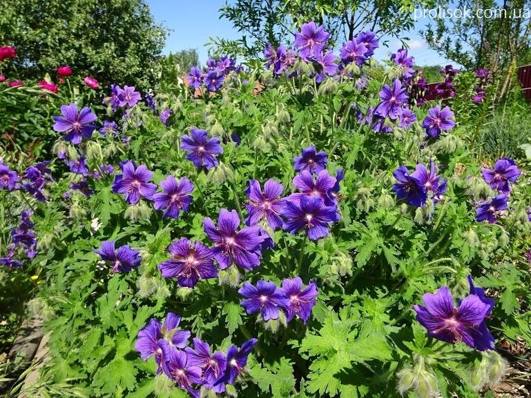 """Герань чудова """"Роземор"""" (Geranium x magnificum """"Rosemoor"""") - 4"""