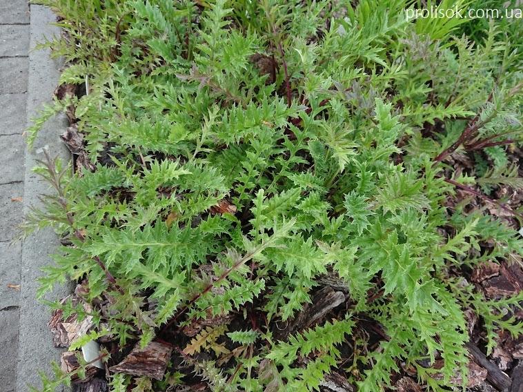 Відкасник осотоподібний (Carlina cirsioides) - 7