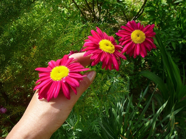 "Маруна рожева гібрид ""Джемс Келвей"" (Pyrethrum roseum hybridum ""James Kelway"") - 1"