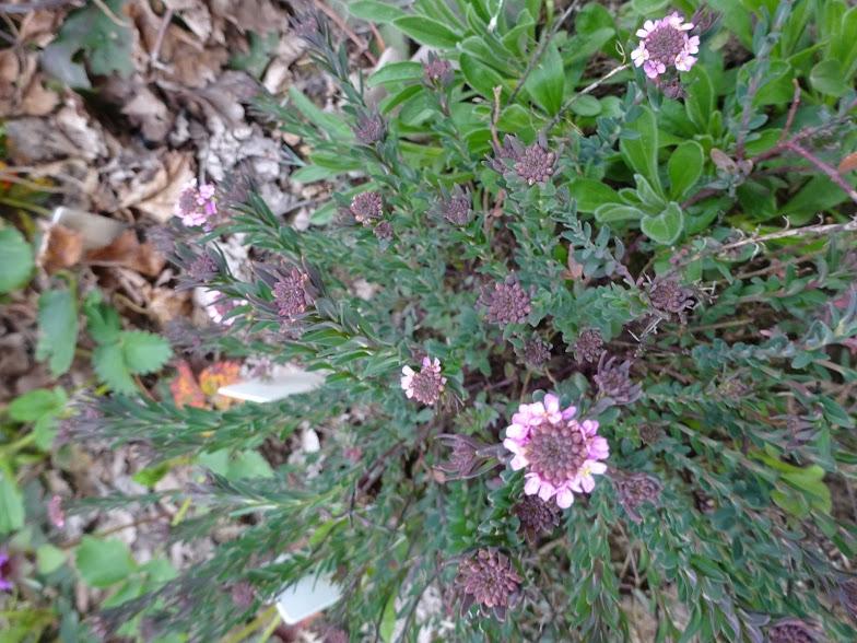 Етіонема серцелиста (Aethionema cordifolia) - 3