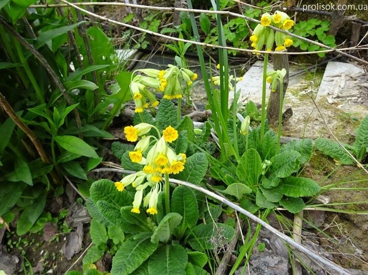Первоцвіт великочашечковий (Primula macrocalyx Bunge) - 2