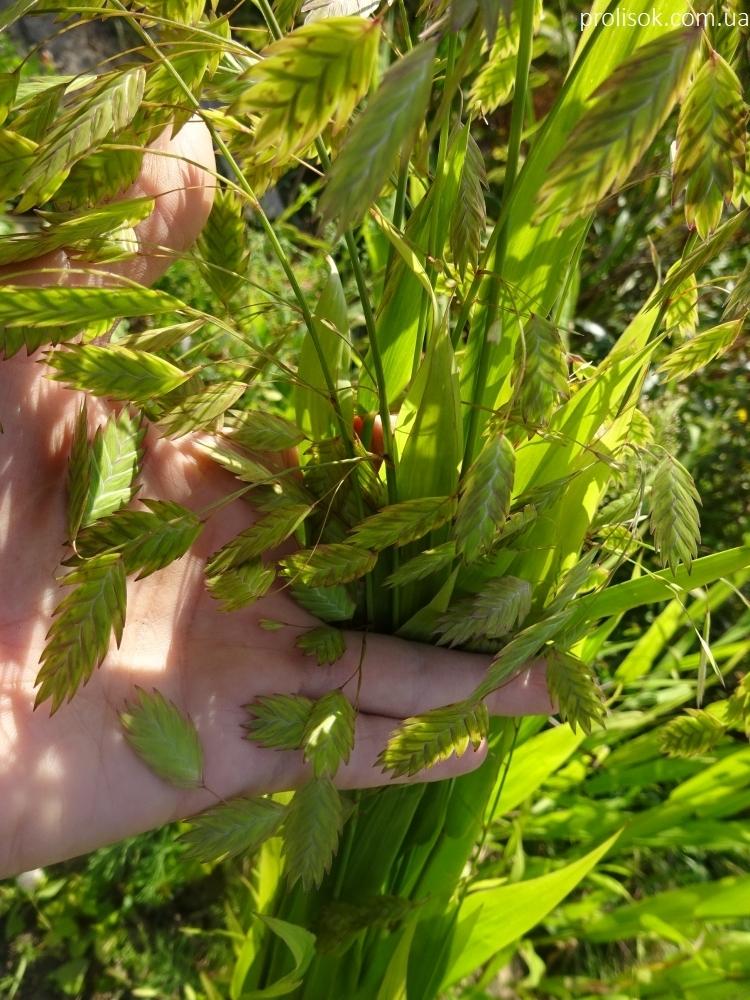 Хасмантіум широколистий (Chasmanthium latifolium) - 2