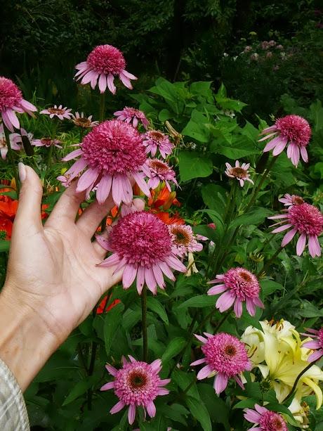"Ехінацея пурпурова ""Раззматазз"" (Echinacea purpurea ""Razzmatazz"") - 1"