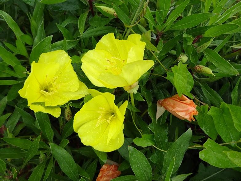 Енотера міссурійська (Oenothera missouriensis) - 5