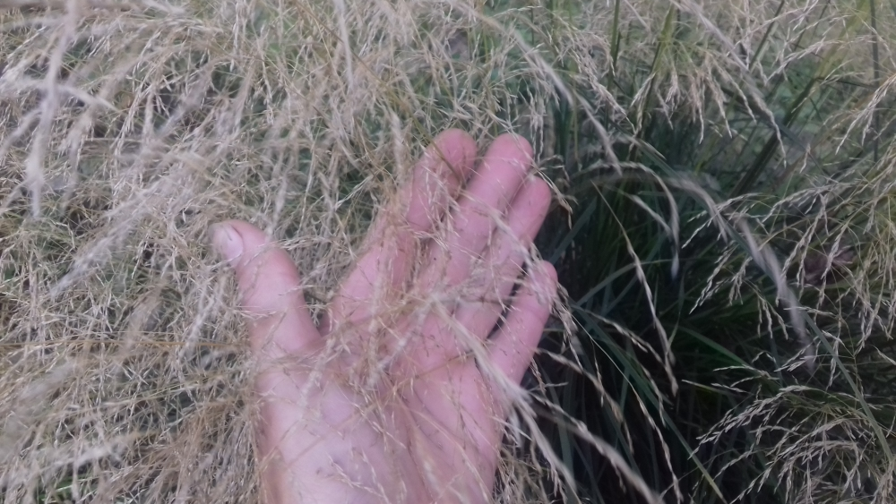 Мюленбергія волосоподібна (Muhlenbergia capillaris) - 1