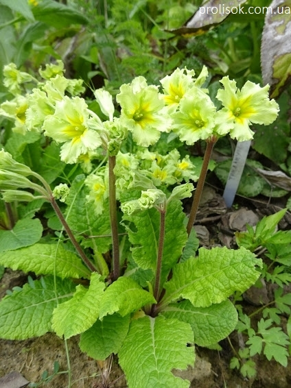 """Первоцвіт гібридний """"Франческа"""" (Primula  hybrid """"Francesca"""") - 2"""