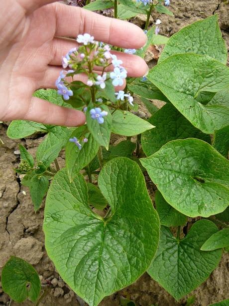 Бруннера сибірська (Brunnera sibirica Stev.) - 4