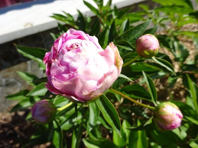 "Півонія ""Дрезден Пінк"" (Paeonia ""Dresden Pink"") - 5"
