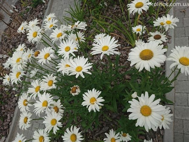 """Королиця """"Аляска"""" (Leucanthemum x superbum """"Alaska"""") - 4"""