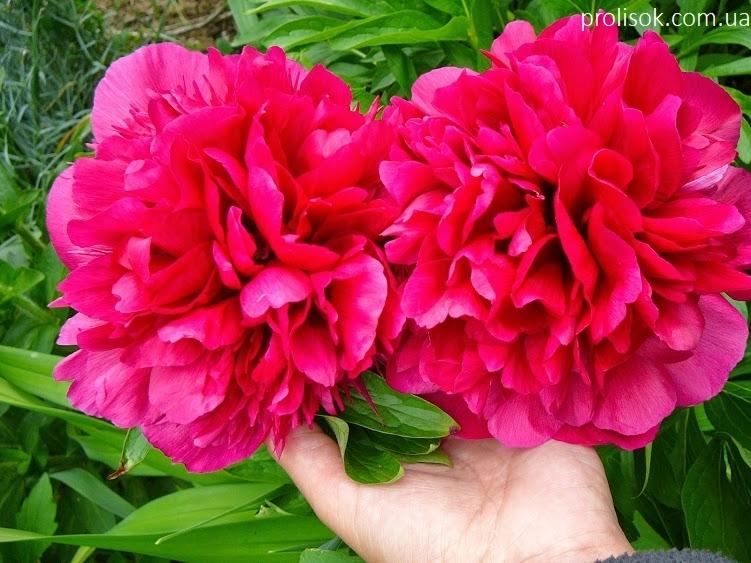 """Півонія лікарська """"Рубра Плена"""" (Paeonia officinalis """"Rubra Plena"""") - 4"""