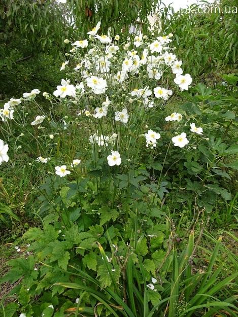 "Анемона японська ""Андреа Аткінсон"" (Anemone japonica ""Andrea Atkinson"") - 6"