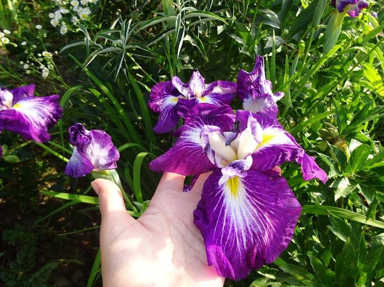 """Півники мечоподібні """"Ред Репітер"""" (Iris ensata """"Red Repeater"""") - 2"""