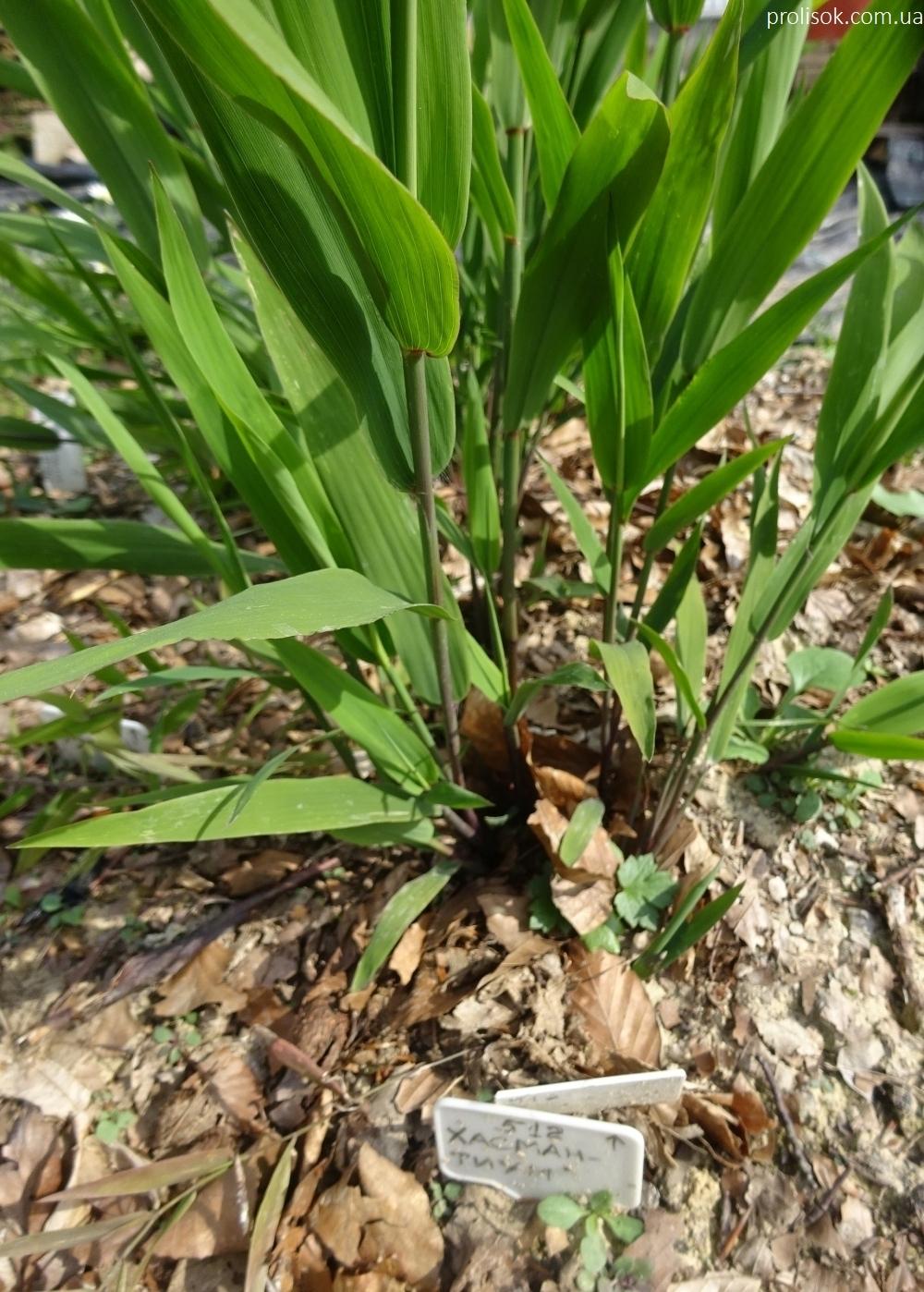 Хасмантіум широколистий (Chasmanthium latifolium) - 3