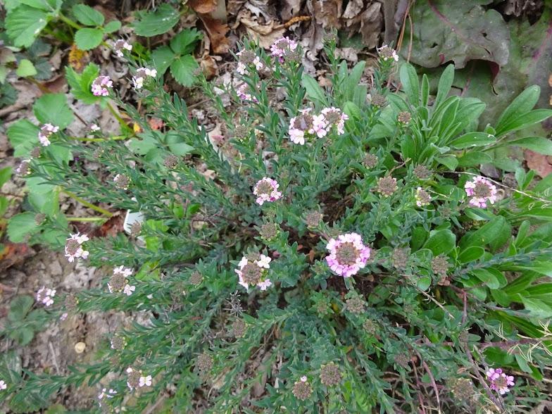 Етіонема серцелиста (Aethionema cordifolia) - 1