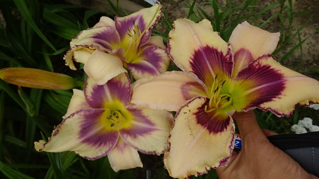 "Лілійник ""Дестінд ту Сі"" (Hemerocallis ""Destined to See"") - 5"
