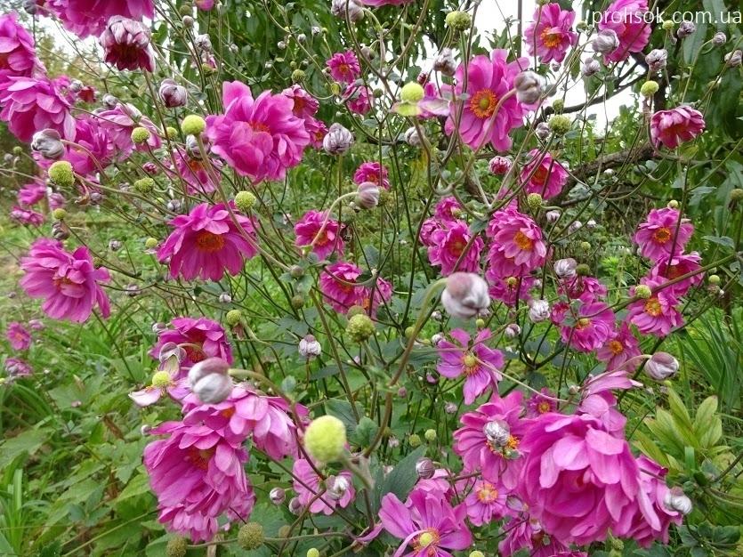 "Анемона японська ""Паміна"" (Anemone japonica ""Pamina"") - 5"