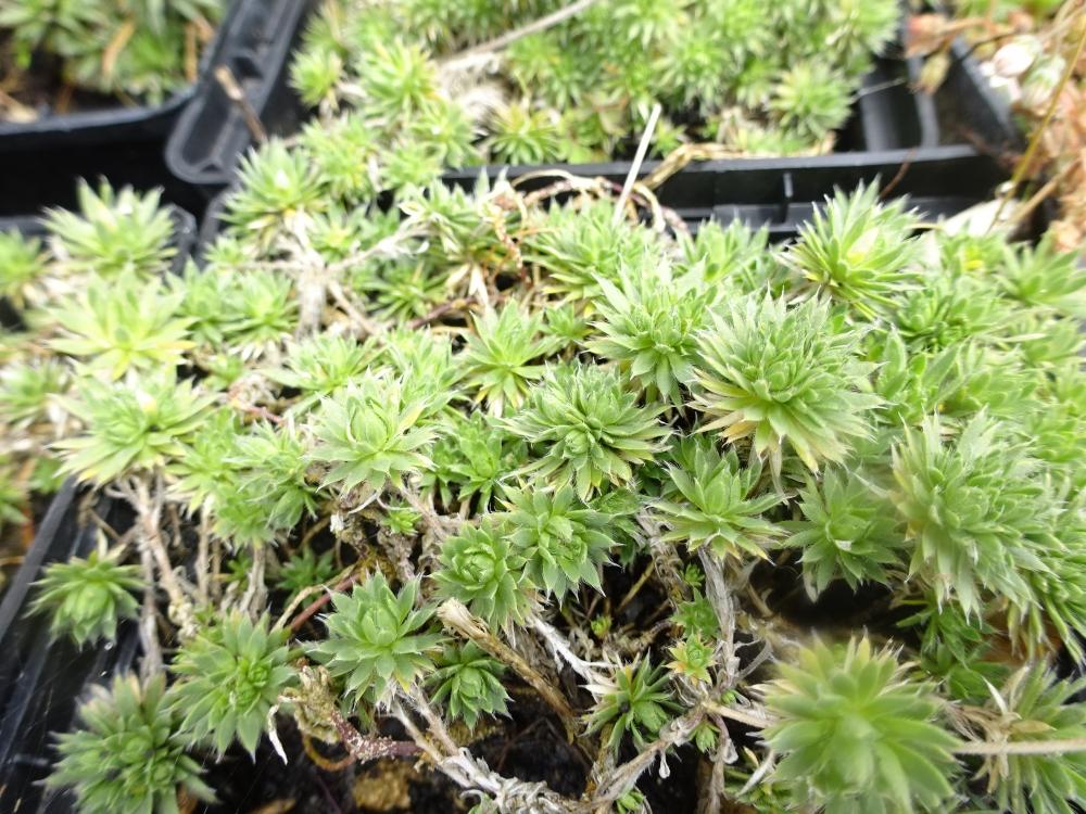Крупка кавказька (Draba bruniifolia) - 1