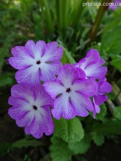 Первоцвіт Зібольда (Primula sieboldii) - 1