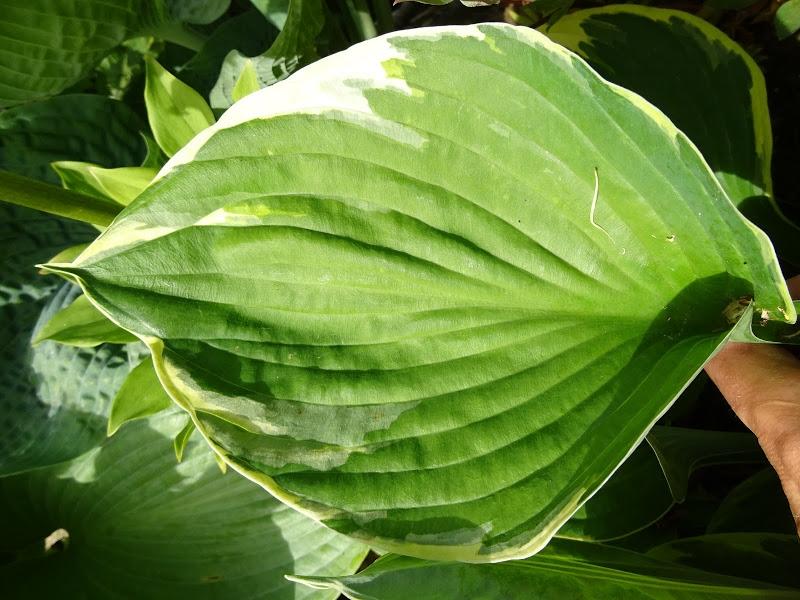 Хоста Форчуна вар. Ауреомаргіната (Hosta fortunei var. aureomarginata) - 3