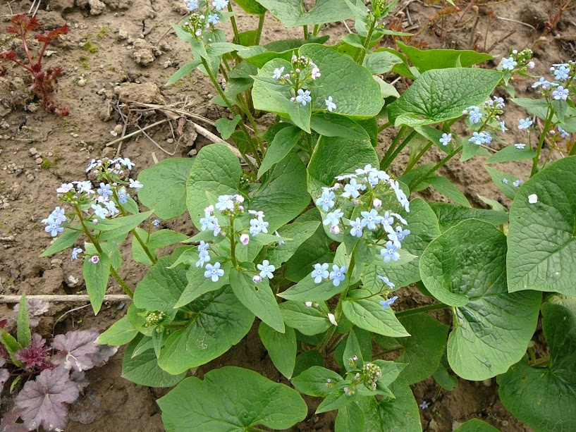 Бруннера сибірська (Brunnera sibirica Stev.) - 3