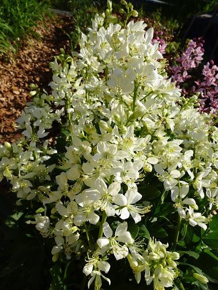 Ясенець білий (Dictamnus albus) - 1