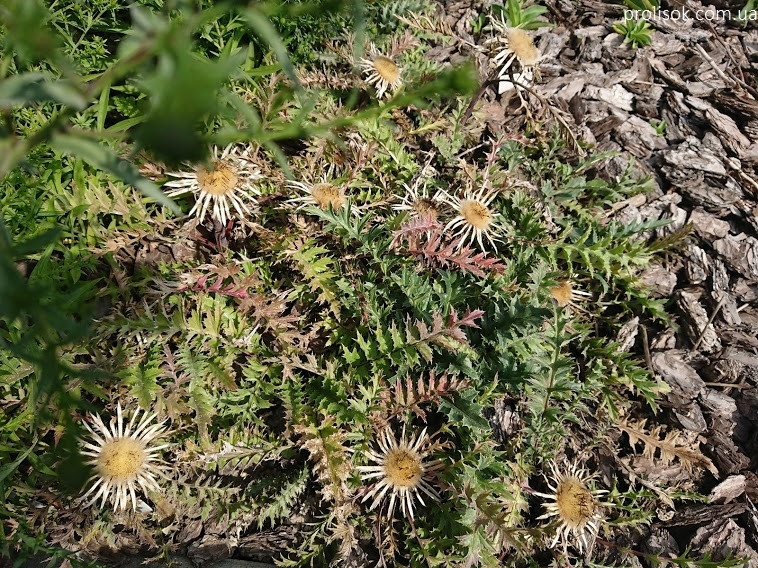 Відкасник осотоподібний (Carlina cirsioides) - 5