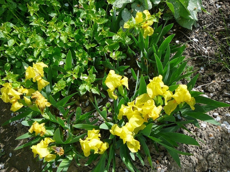 Півники бородаті карликові жовті (Iris pumila) - 2