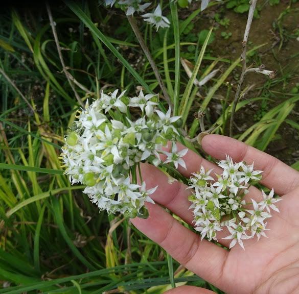 Цибуля Китайський різанець (Allium tuberosum) - 2