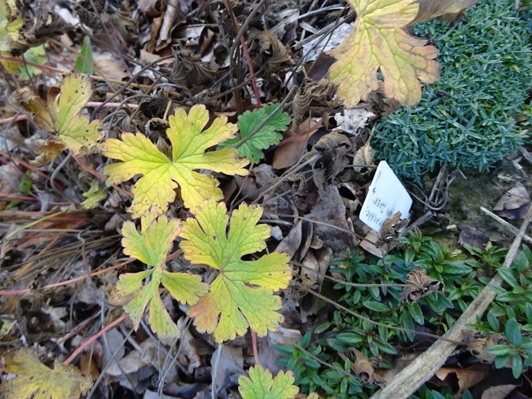 """Герань гімалайська """"Бірч Дабл"""" (Geranium himalayense """"Birch Double"""") - 5"""