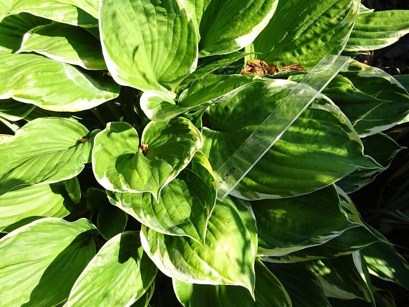 Хоста Форчуна вар. Ауреомаргіната (Hosta fortunei var. aureomarginata) - 6