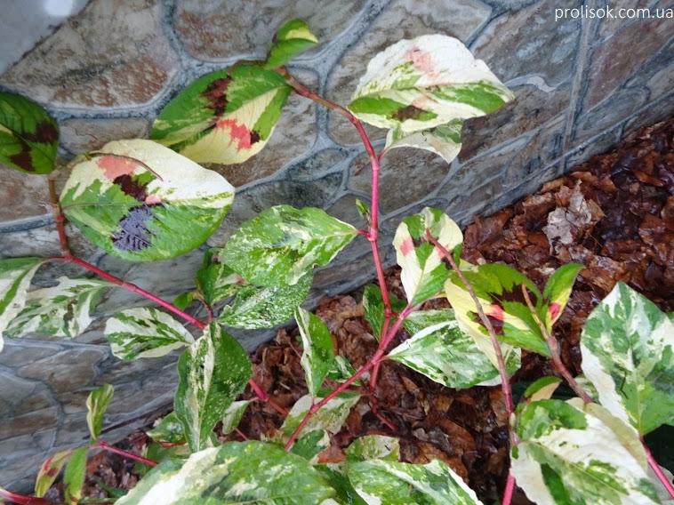"""Гірчак віргінський """"Пейнтерс Палетт"""" (Persicaria virginiana """"Painter's Palette"""") - 1"""