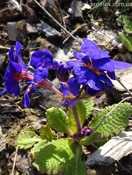 """Первоцвіт Томмазіні """"Ю енд Мі Блю""""(Primula х tommasiniі """"You and Me Blue"""") - 5"""
