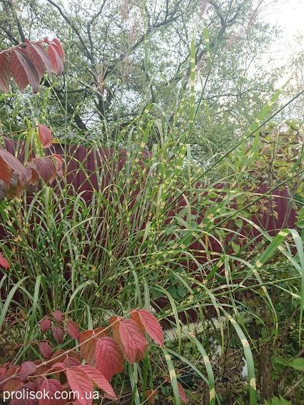 """Міскантус китайський """"Зебрінус"""" (Miscanthus sinensis """"Zebrinus"""") - 4"""