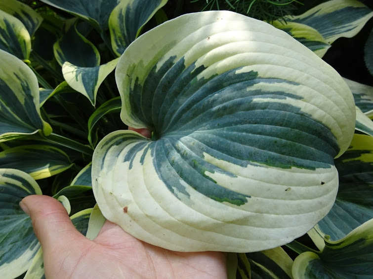 """Хоста """"Ферст Фрост"""" (Hosta """"First Frost"""") - 3"""