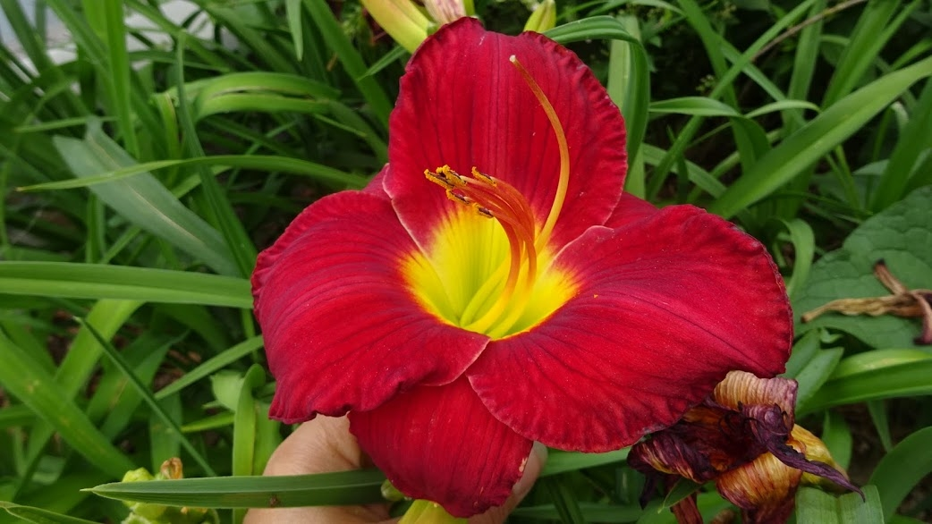 "Лілійник ""Крістмас Іс"" (Hemerocallis ""Christmas Is"") - 4"