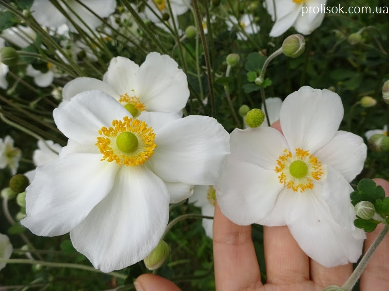 "Анемона японська ""Андреа Аткінсон"" (Anemone japonica ""Andrea Atkinson"") - 9"