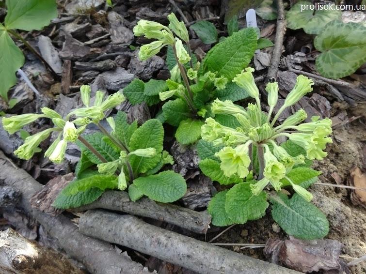 """Первоцвіт гібридний """"Франческа"""" (Primula  hybrid """"Francesca"""") - 3"""