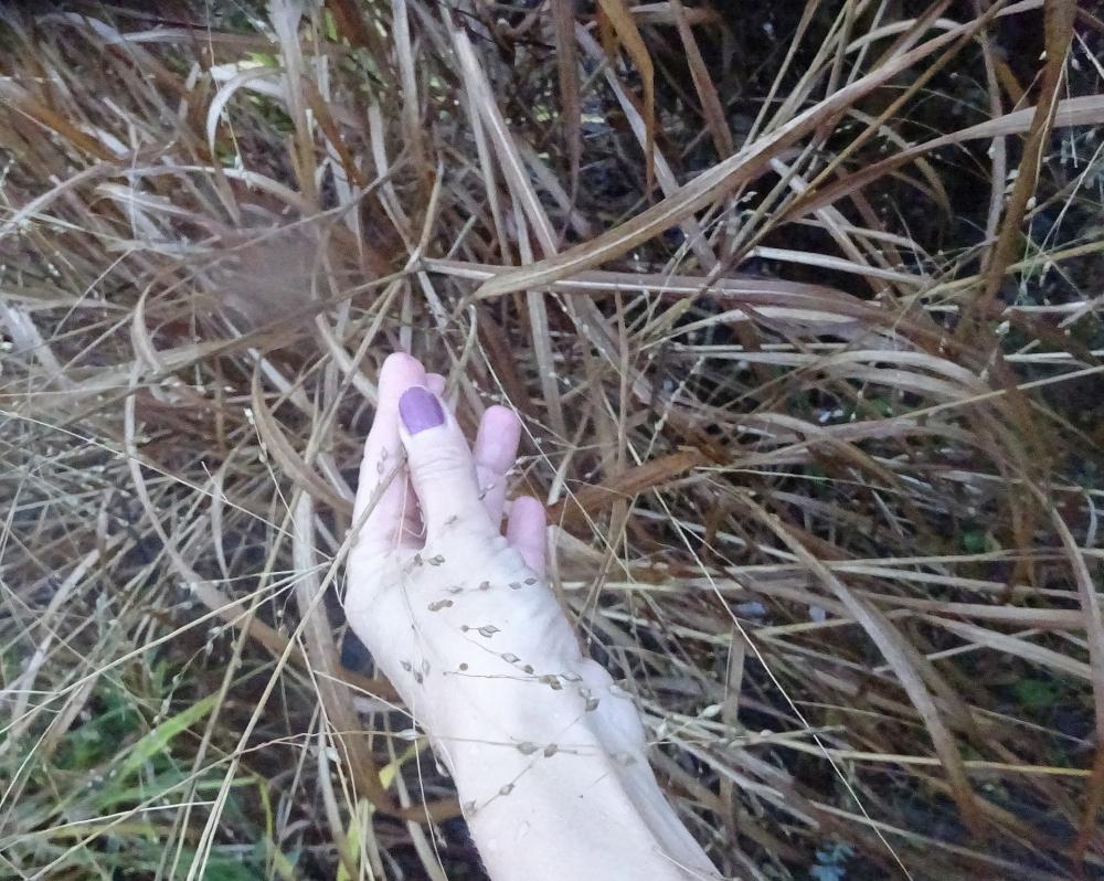 Просо приховане або Діхантеліум прихований (Panicum clandestinum, Dichanthelium clandestinum) - 3