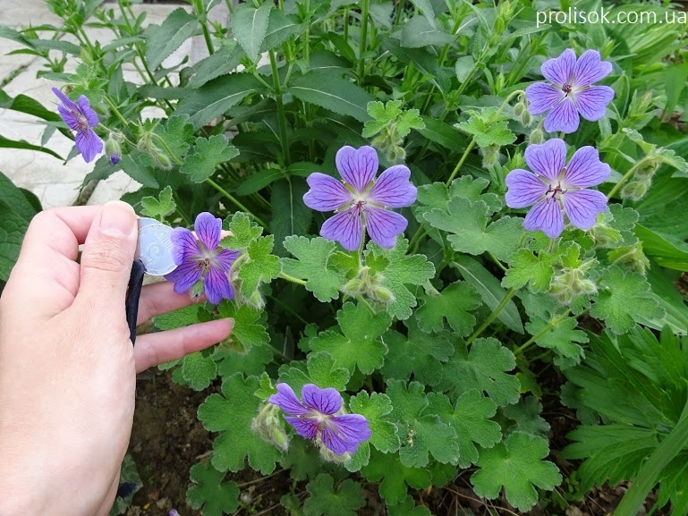 """Герань Ренарда """"Філіпп Вапель"""" (Geranium renardii """"Philippe Vapelle"""") - 1"""