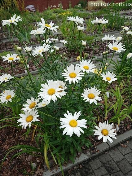 """Королиця """"Аляска"""" (Leucanthemum x superbum """"Alaska"""") - 5"""