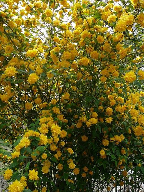 """Керрія японська """"Пленіфлора"""" (Kerria japonica """"Pleniflora"""") - 1"""