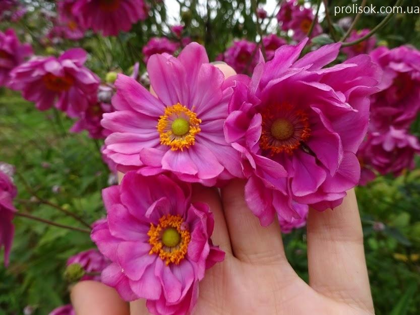 "Анемона японська ""Паміна"" (Anemone japonica ""Pamina"") - 1"