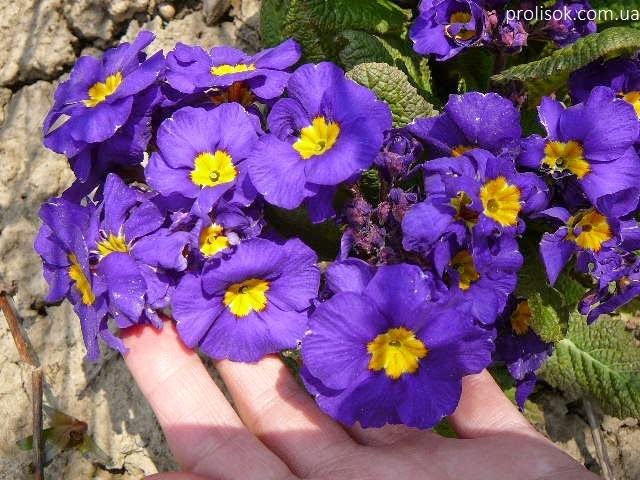 """Первоцвіт Томмазіні """"Ю енд Мі Блю""""(Primula х tommasiniі """"You and Me Blue"""") - 7"""
