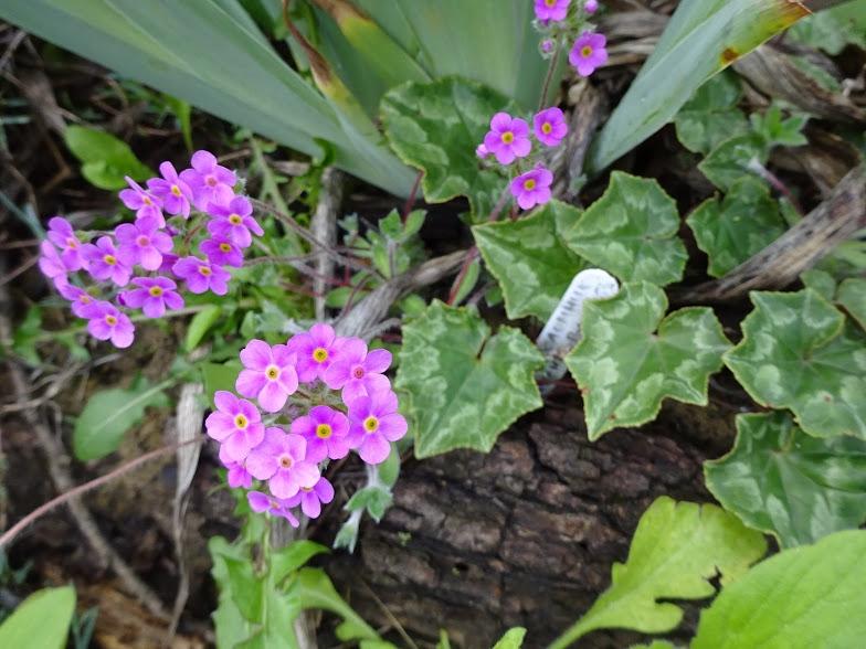 Переломник гіллястий (Androsace sarmentosa) - 1