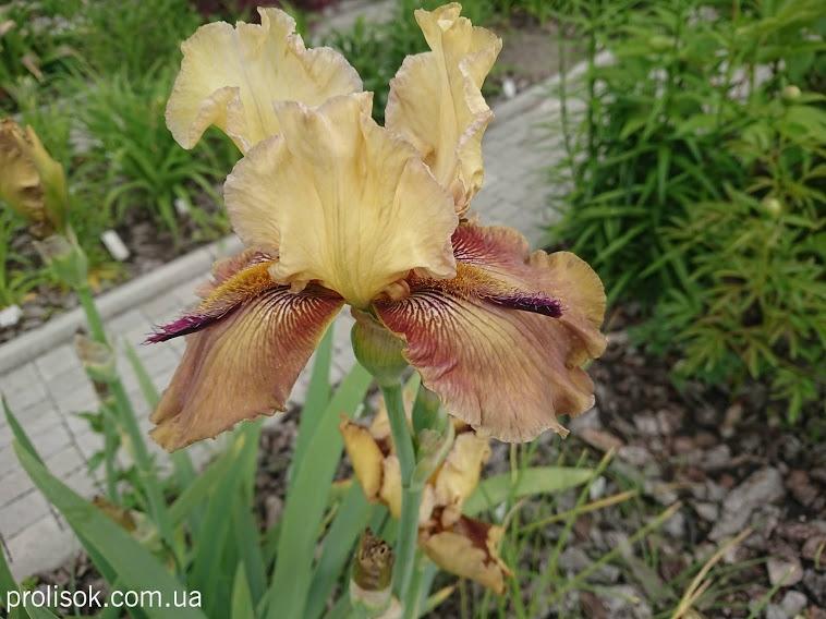 """Півники бородаті """"Торнбірд"""" (Iris """"Thornbird"""") - 3"""